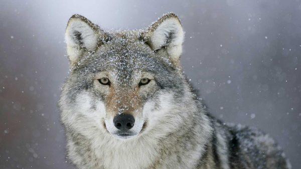 wolf lupo neve grande